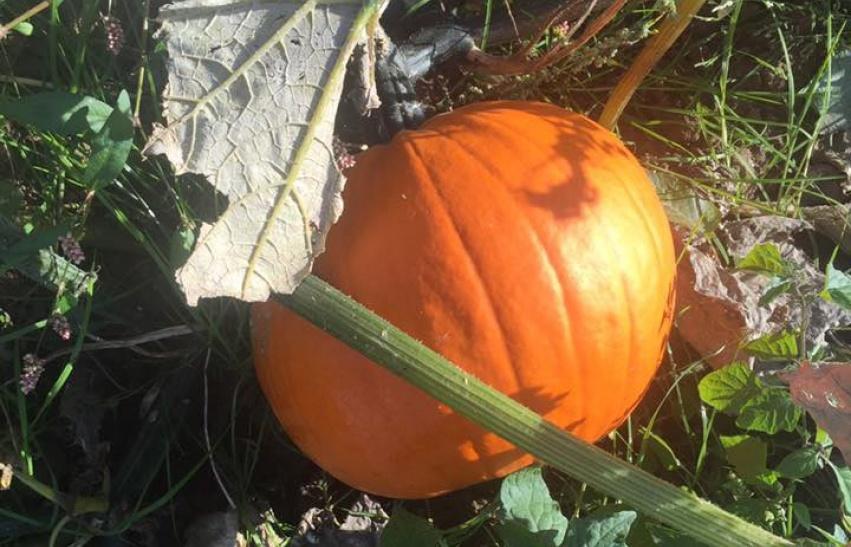 Pumpkin Patch at Eastfield Farm